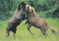 Konji-pari_0003